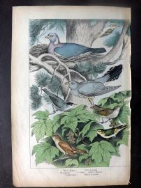 Adam White C1860 HCol Bird Print. Wood Pigeon, Creeper, Blackcap, Nightingale